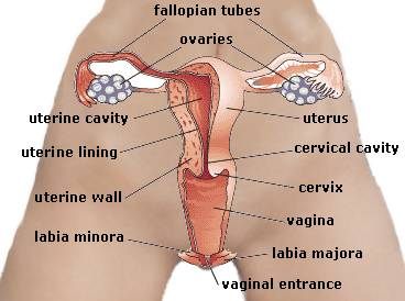 Womens sex organ
